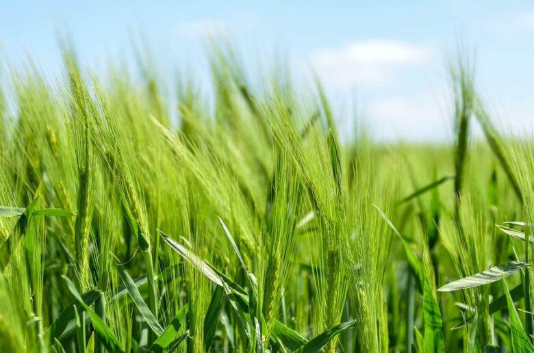 大麦若葉ってそもそも何?大麦若葉の青汁の効果ってどんなもん?